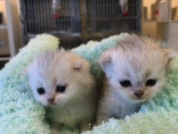 Kittens Scottish Fold