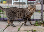 Xantos is een mooie black tabby spotted kater