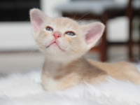 Super leuke burmees kittens & herplaatser